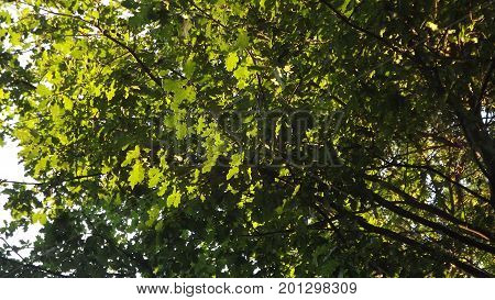 Leaves of an oak tree backlit by sunshine