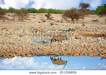 Lone Gemsbok Oryx next to a waterhole with perfect reflection in water with a nice cloudscape - Etosha National Park Namibia
