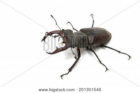 Beetle stag beetle isolated on white background