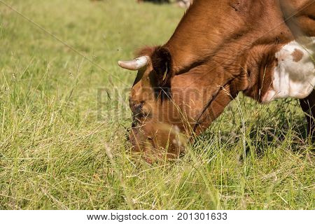 spotted cattle eats on the pasture - close up of cow