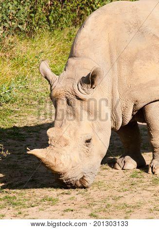 Diceros bicornis - Black rhinocero critically endangered species in IUNC red list