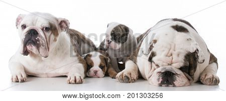 bulldog mother and father with their puppies