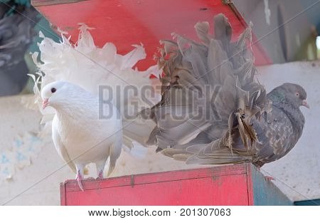 Purebred dove white and  brown pigeon