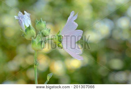 Malva neglecta flower in summer time