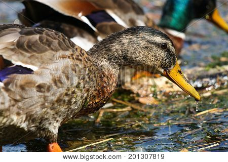 A yellow beaked male mallard in eclipse plumage during moulting