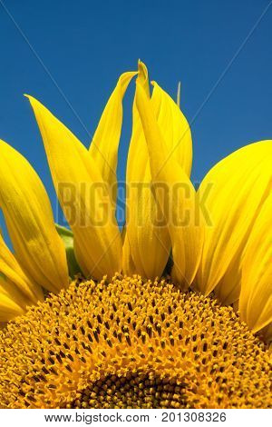 Close up of a sunflower on blue sky background
