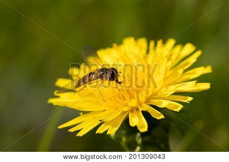 Small Insect Wasp On Head Yellow Flower Dandelion Eat Floral Nectar On Summer Meadow Close Up.