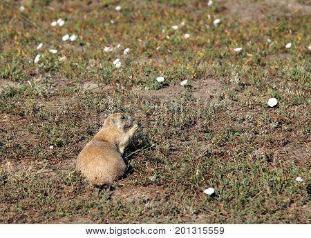 Prairie Dog Eating In The Flowers