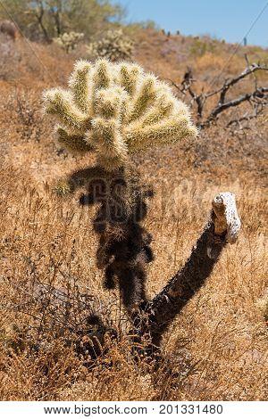A Cholla Cactus along the Apache Wash Trail in the Phoenix Sonoran Preserve Arizona USA