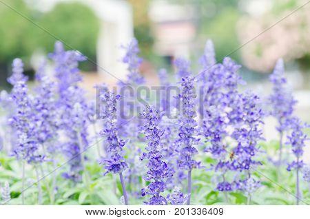 Blue Salvia flower blossom in a garden, Decoration flowers