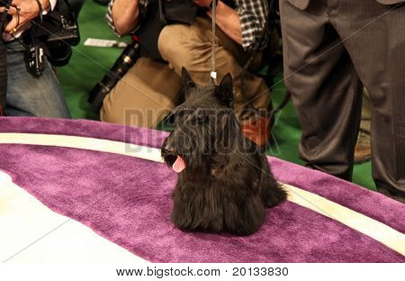 NEW YORK - FEBRUARY 16: Scottish Terrier Sadie poses for the press after winning Best in Show at the 134th Westminster Kennel Club Dog Show at Madison Square Garden on February 16, 2010 in New York.