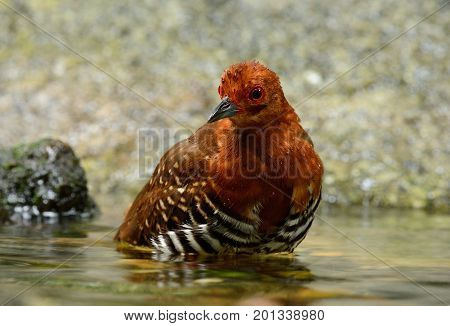 beautiful Red-legged Crake Malaysian Banded Crake (Rallina fasciata) in water.