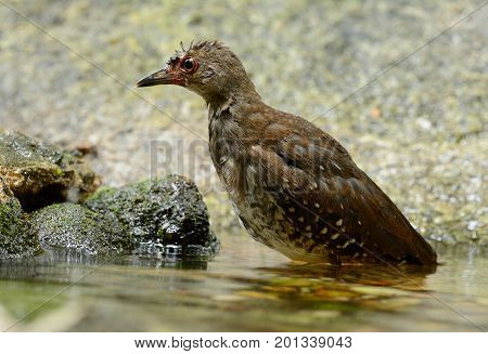 beautiful subadult Red-legged Crake Malaysian Banded Crake (Rallina fasciata) in water.