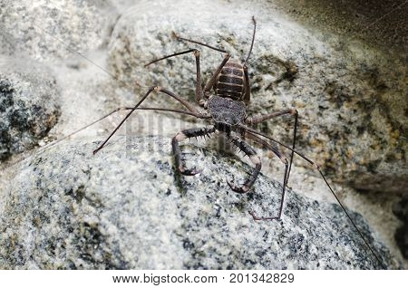 Tailless whip scorpion on the rock all in grey