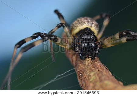 macro image of a hermit spider from Borneo