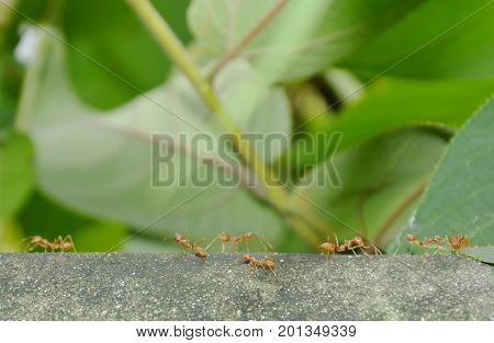 red ant walking on cement wall and communicated with tentacle