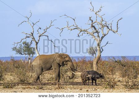 African bush elephant and african buffalo in Kruger national park, South Africa ; Specie Loxodonta africana and Syncerus caffer