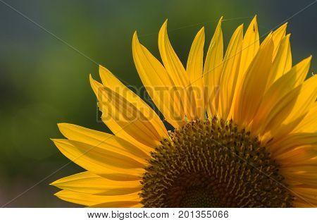 Close-up Of Sunflower Under Sun Light