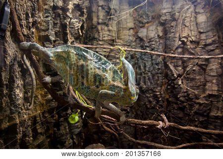 Veiled Beautiful Chameleon Walking On A Stick.
