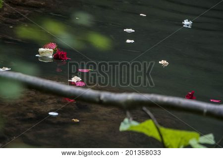 Red And White Rose Petals Floating Over The Water