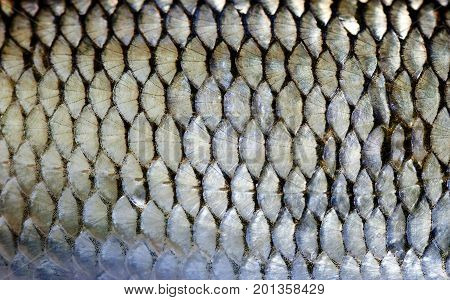 Roach fish scales skin macro view. Photo european dace scaly textured pattern. Selective focus, shallow depth field