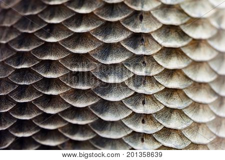 Fish scales skin texture macro view. Geometric pattern photo Crucian carp Carassius scaly with Lateral line. Selective focus, shallow depth field
