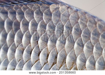 Carassius fish skin scales texture photo. Macro view Crucian carp scaly pattern. Selective focus, shallow depth field