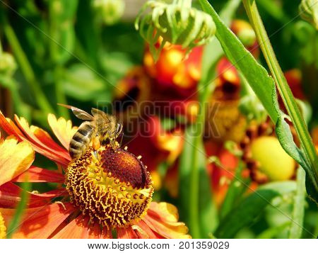 A bee is picking up nectar on a red flower in a garden on a sunny day