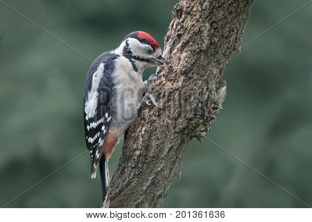 Great spotted woodpecker perched on a tree with its beak in the trunk against a natural green background