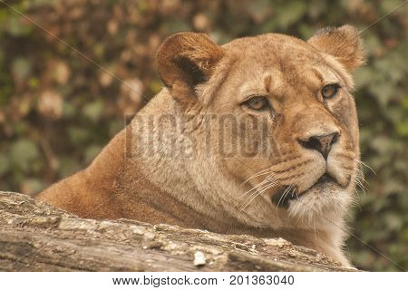 It is image of lioness in Zoo.