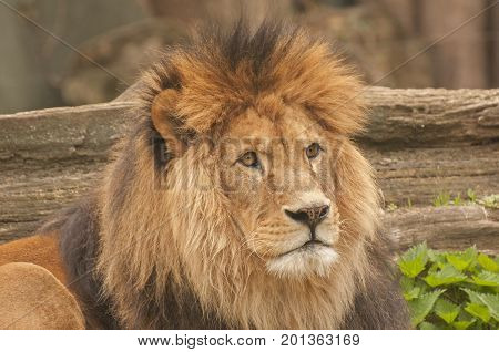It is image of lion in Zoo.
