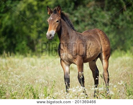 Nice brown foal  standing on a meadow in grass