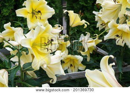 a bouquet of beautiful yellow lilies in the garden.