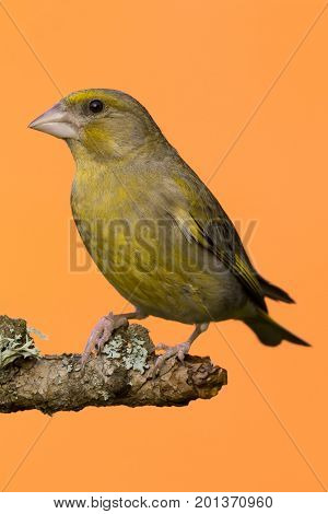 One Male Greenfinch Bird Perched On Branch