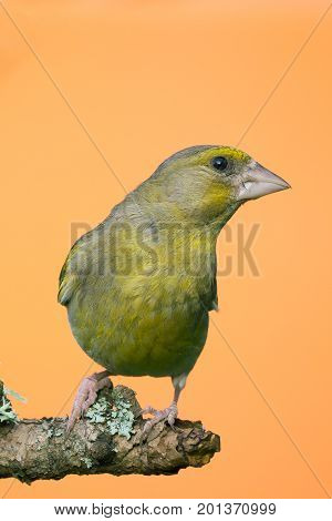 Single Male Greenfinch Bird Perched On Branch