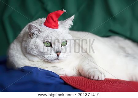 Close-up beautiful , light shade British cat with intelligent, beautiful green eyes in red Christmas hat, funny humorous domestic Santa Claus. Festive holidays vivid bright background