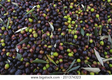 Bolgheri Tuscany olive harvest in Bolgheri ready to be taken to the mill to produce the famous extra virgin olive oil olio extra vergine di oliva