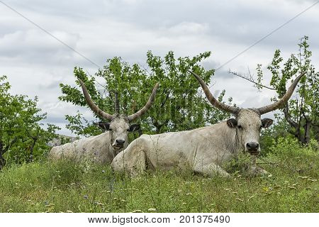 Two white oxen with long horns lie on a meadow under the trees. Stock photo.