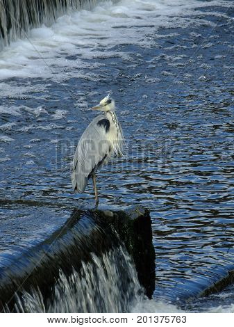 Grey heron standing beside flowing water on river