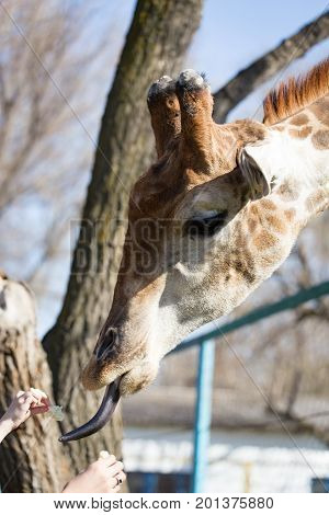 Giraffe is fed by people in the zoo .