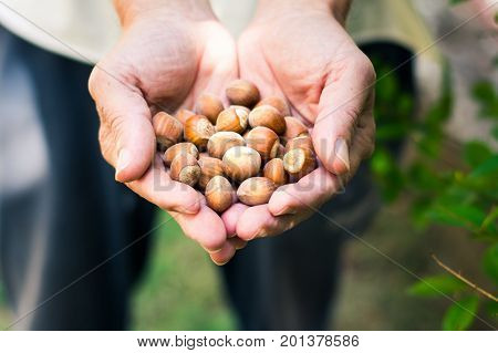 Male Hands Holding Bunch Of Hazelnuts