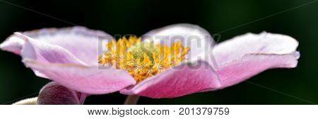 Close up of a beautiful pink Anemone in bright sunlight