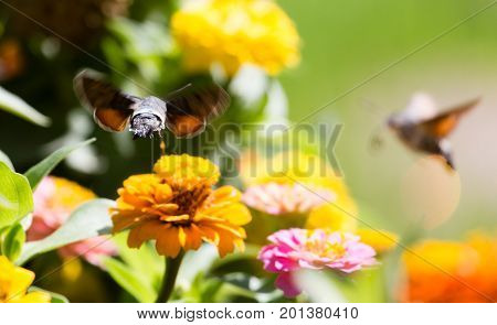Butterfly in flight gathers nectar from flowers .