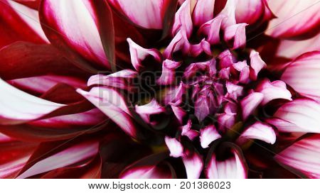 Close up of beautiful Dahlia flower in sunlight