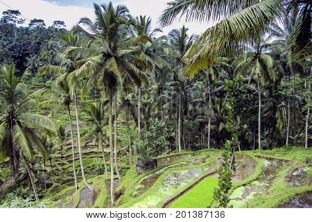 coconut palms and rice terraces on Bali.