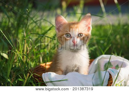 Beautiful little curious cat sitting in the basket
