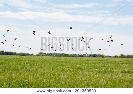 green wheat fileld with blue sky and many black starling birds
