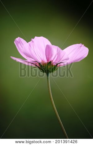 A Cosmea against a homogeny green background.