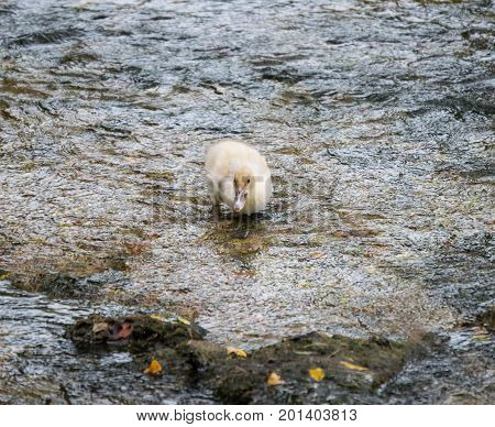 A down covered baby duck waddles amongst rocks in a creek