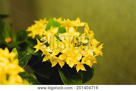 Single of Yellow flower spike Rubiaceae Ixora coccinea in the garden